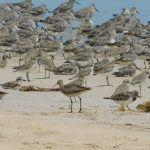 Little Curlew on Cable Beach