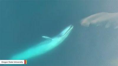 Stunning video shows blue whale feeding, thanks to drone
