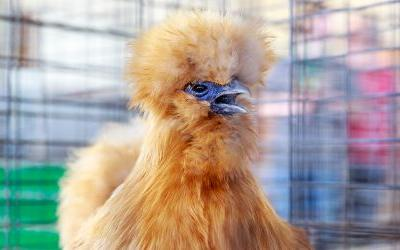 Virulent Newcastle Disease means backyard chicken craze needs to clean up its act