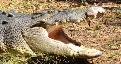 Australian residents are being asked to donate 'old chickens' to help feed up a skinny crocodile