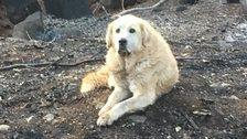 Loyal Dog Found Guarding Home Weeks After Wildfire Burned It To The Ground