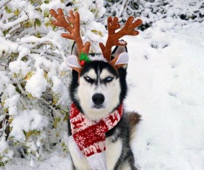 Hate Christmas? Not as much as this Siberian husky