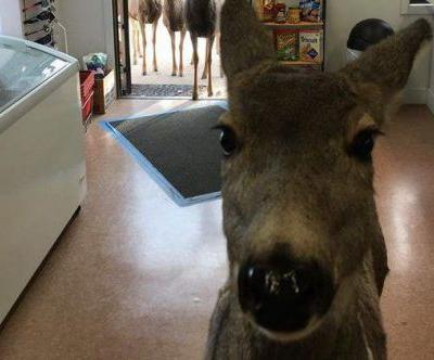 Deer doing her Christmas shopping in a gift shop gets escorted out