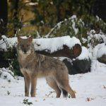 Once I found out: Awareness of and attitudes toward coyote hunting policies in Massachusetts