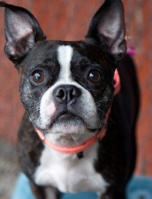 """TANK"" big Boston Terrier"