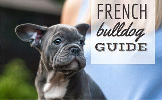 Learn About the Rising Popularity of the French Bulldog