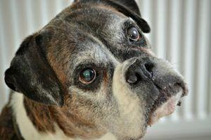 Ask A Vet: Should I Worry About My Boxer Going Under Anesthesia?