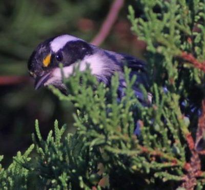 Black-throated Gray Warbler at Jamaica Bay Wildlife Refuge