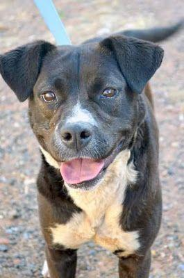 Adoption Monday: Chargerita, Labrador Retriever & American Staffordshire Terrier Mix, Page, AZ