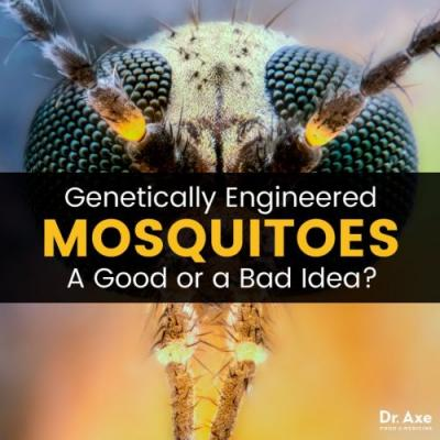 Genetically Modified Mosquitoes: Are They Even Safe?