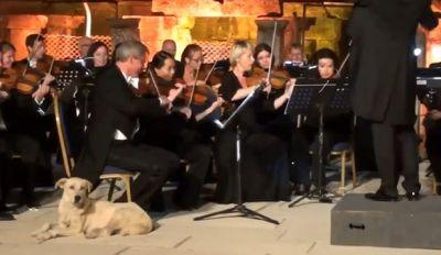 This Will Make You Laugh! Dog Casually Walks On Stage To Listen To Orchestra Play Bach