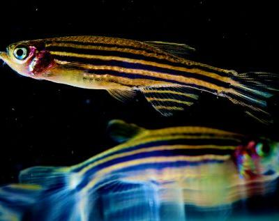 A zebrafish's empty stomach can help scientists understand brain function