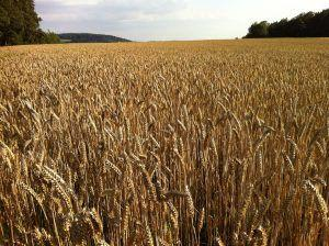 New Assembly for Complex Bread Wheat Genome: 10 Times Higher Contiguity