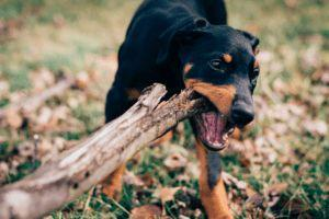 Is It Safe For My Dog To Chew Sticks?