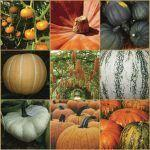 The Peaceable Genomes of Pumpkins