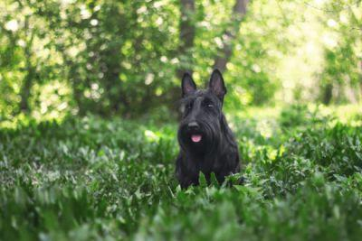 12 Scottish Terriers Who Have Better Beards Than Most Hipsters