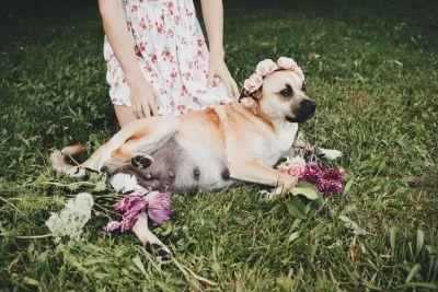 Pregnant dog Fusee gets the glorious maternity photoshoot she deserves