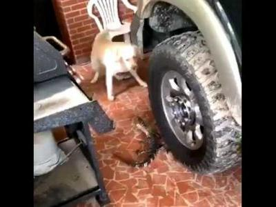 VIDEO: Dogs discover alligator hiding from storm system Barry