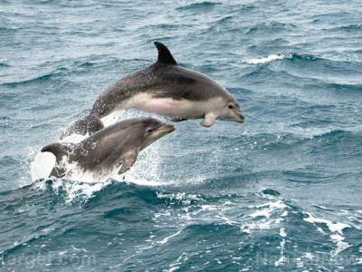 """New study examines complexity of dolphin culture; researchers determine that brain size correlates with """"human-like"""" behaviors and societies"""