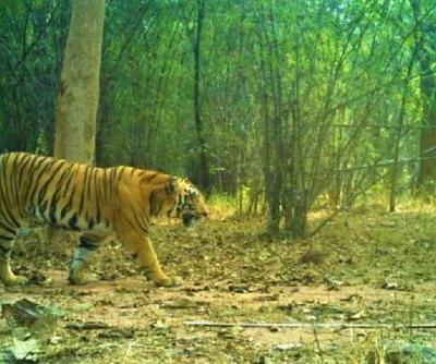Male tiger sighted in Telangana's Kawal reserve after one year, caught on camera
