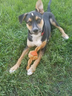 Adoption Monday: CJ, Beagle & German Shepherd Dog, Union Grove, WI