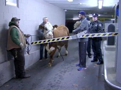 Holy cow! This wandering bovine was cornered in a parking garage after leaving a Philadelphia church nativity scene and going onto Interstate 95