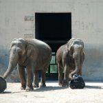 Toys for Elephants: Designing and Building Enrichment Objects for Elephants