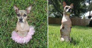 2-Legged Chihuahua Who Spent 8 Years At Shelter Is Now A Star