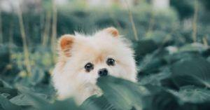 Dream Job: Doggyguard Wanted To Protect Pomeranian In The U.K