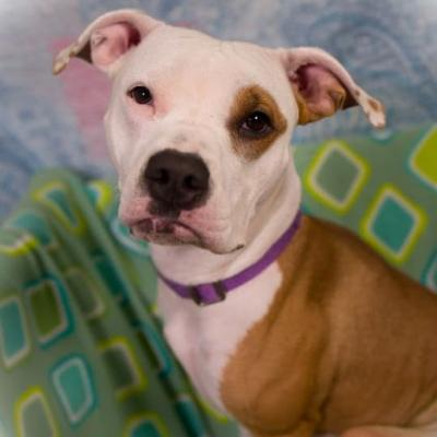 """SWEET-TART"" volunteer Fav Young Pitbull"