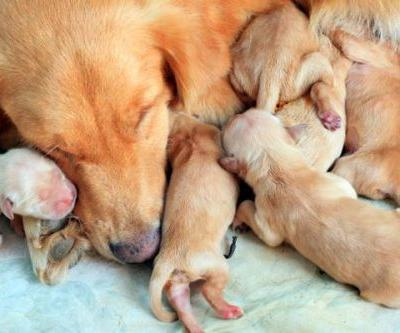 How Long Are Dogs Pregnant? Dog Pregnancy and Dog Gestation Period