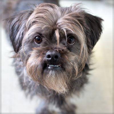"""TOBY"" friendly Shih tzu mix"