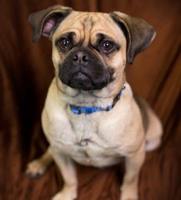"""COLT"" friendly little pug mix"