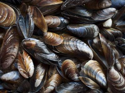Mussels found in Washington inlet test positive for opioids, other drugs