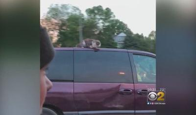 Cat Clings To Roof Of Owner's Van On Expressway