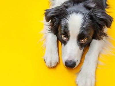 """Dogs Evolved A Special Muscle That Lets Them Give """"Puppy Dog Eyes"""""""
