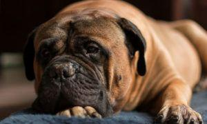 3 Amazing Ways To Honor A Bull Mastiff Who Passed Away