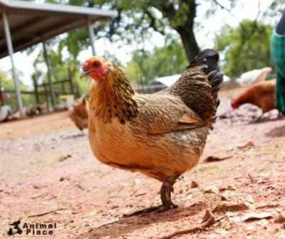 Gertie was rescued in 2010 with 139 other chickens from a