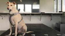 Dogs Are Performing COVID-19 Tests At Helsinki Airport