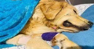WARNING: This Common Dog Toy Turned Deadly For Young Golden Retriever
