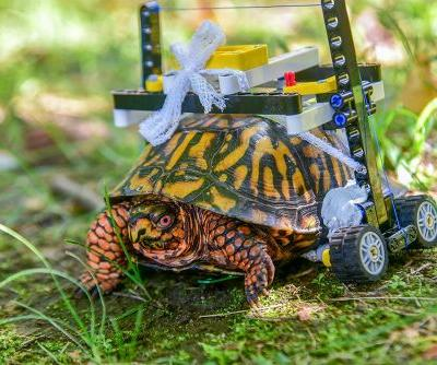 Injured turtle gets customized wheelchair made out of Legos