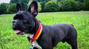 Improve Your French Bulldog's Skin & Coat With This One Simple Hack