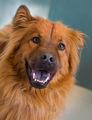 """""""BEAR"""" friendly and very loyal little Chow mix"""