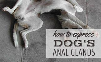 How to Express Dog's Anal Glands And Other Questions Answered