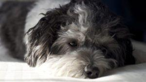 Choosing The Best Joint Supplement for a Havanese - 6 Things You Must Know