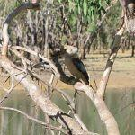 Blue-winged Kookaburras at Ellendale Dam
