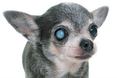 Keeping an Eye on SARDS and Other Dog Eye Diseases