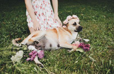 Pregnant Dog Gets The Beautiful Maternity Photo Shoot She Deserves
