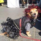"""This Dog Dressed as Moira Rose Is Practically Shouting, """"Stop Acting Like a Disgruntled Pelican!"""""""