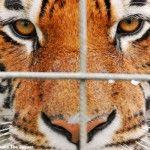 Don't Let Ringling Export Big Cats for Further Exploitation